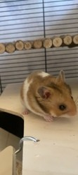 Jayjay, rongeur Hamster