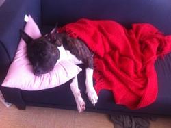 Jayking, chien American Staffordshire Terrier