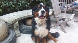 Jayko, chien Bouvier bernois