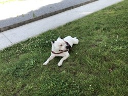 Jayko, chien Staffordshire Bull Terrier