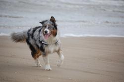 Jaylee, chien Berger australien