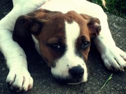 Jaylee, chien Boxer