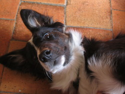 Jayna, chien Border Collie
