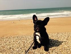 Jayzi, chien Bouledogue français