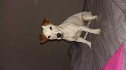 Jayzi, chien Jack Russell Terrier