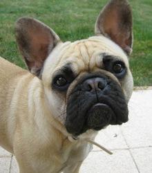 Jazy, chien Bouledogue français