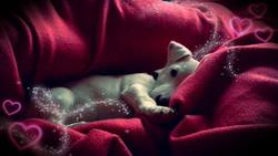 Jazz, chien Jack Russell Terrier