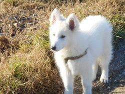 Jazz, chien Berger blanc suisse