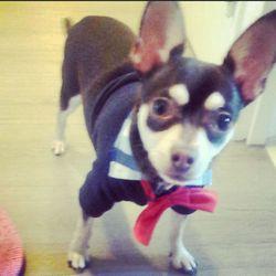Jazz, chien Chihuahua