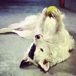 Jazz, chien Border Collie