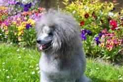 Jazz, chien Caniche