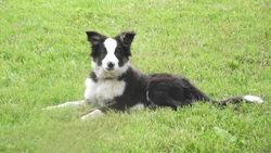 Jazz, chien Border Collie