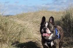 Jazz, chien Bouledogue français