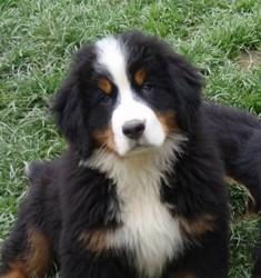 Jazz, chien Bouvier bernois