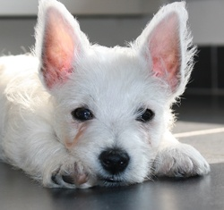 Jazz, chien West Highland White Terrier