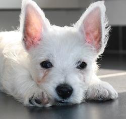 Jazz, chien West Highland White Terrier