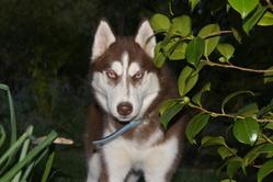 Jazz, chien Husky sibérien