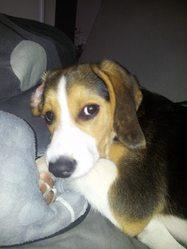 Jazz, chien Beagle