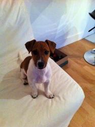 Jazzmine, chien Jack Russell Terrier