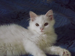 Jazz, chat Maine Coon