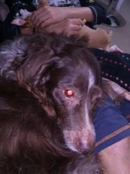 Jazz, chien Épagneul breton