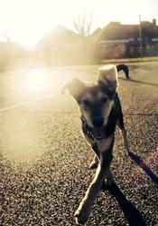 Jazz, chien Berger allemand