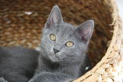 Jazz De L étoile Du Soir , chat Chartreux