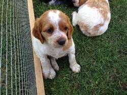 Jazzie, chien Épagneul breton