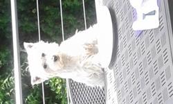 Jazzie, chien West Highland White Terrier