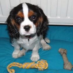 Jazzie, chien Cavalier King Charles Spaniel