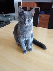 Jazzie, chat Européen