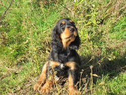 Jazzie, chien Cocker anglais