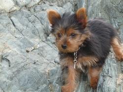 Jazzy, chien Yorkshire Terrier