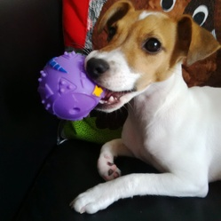 Jazzy, chien Jack Russell Terrier