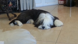 Jazzy, chien Bearded Collie
