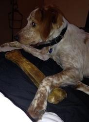 Jazzy, chien Épagneul breton