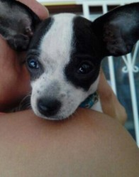 Jazzy, chien Chihuahua