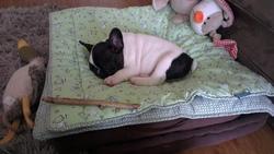 Jazzy, chien Bouledogue français