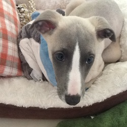 Jazzy, chien Whippet