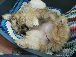 Jazzy , chien Shih Tzu