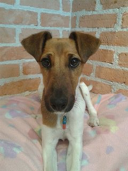 Jazzy, chien Fox-Terrier
