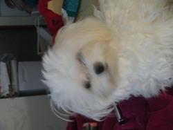 Jazzy, chien Bichon maltais