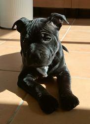 Jazzy Des Tempetes Du Pays Breton, chien Staffordshire Bull Terrier