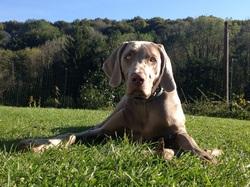 Jazzy Le Bois Saint Simon, chien Braque de Weimar