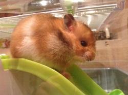 Je N'Est Pas Encore Choisi, rongeur Hamster