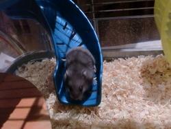 Je Ne Sais Pas Non Plus, rongeur Hamster