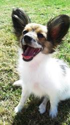 Boonie, chien Épagneul nain continental