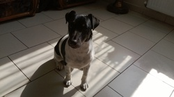 Jean-Jaque, chien Jack Russell Terrier