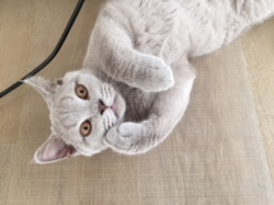 Jeanke, chat British Shorthair