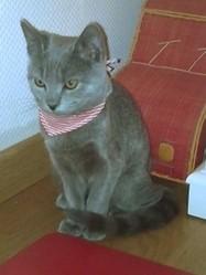 Jeannette, chat Chartreux